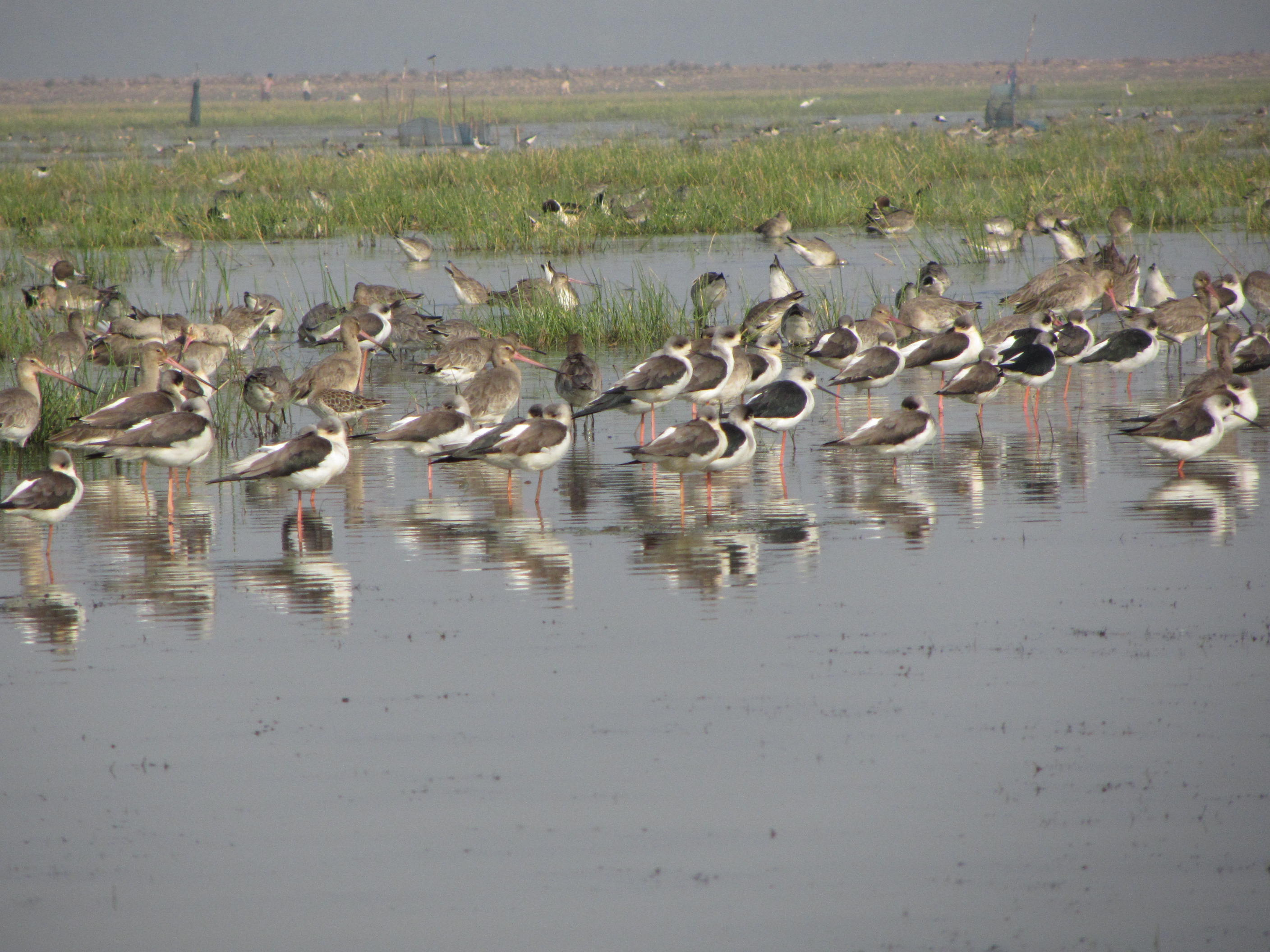 A flock of Stints and Godwits