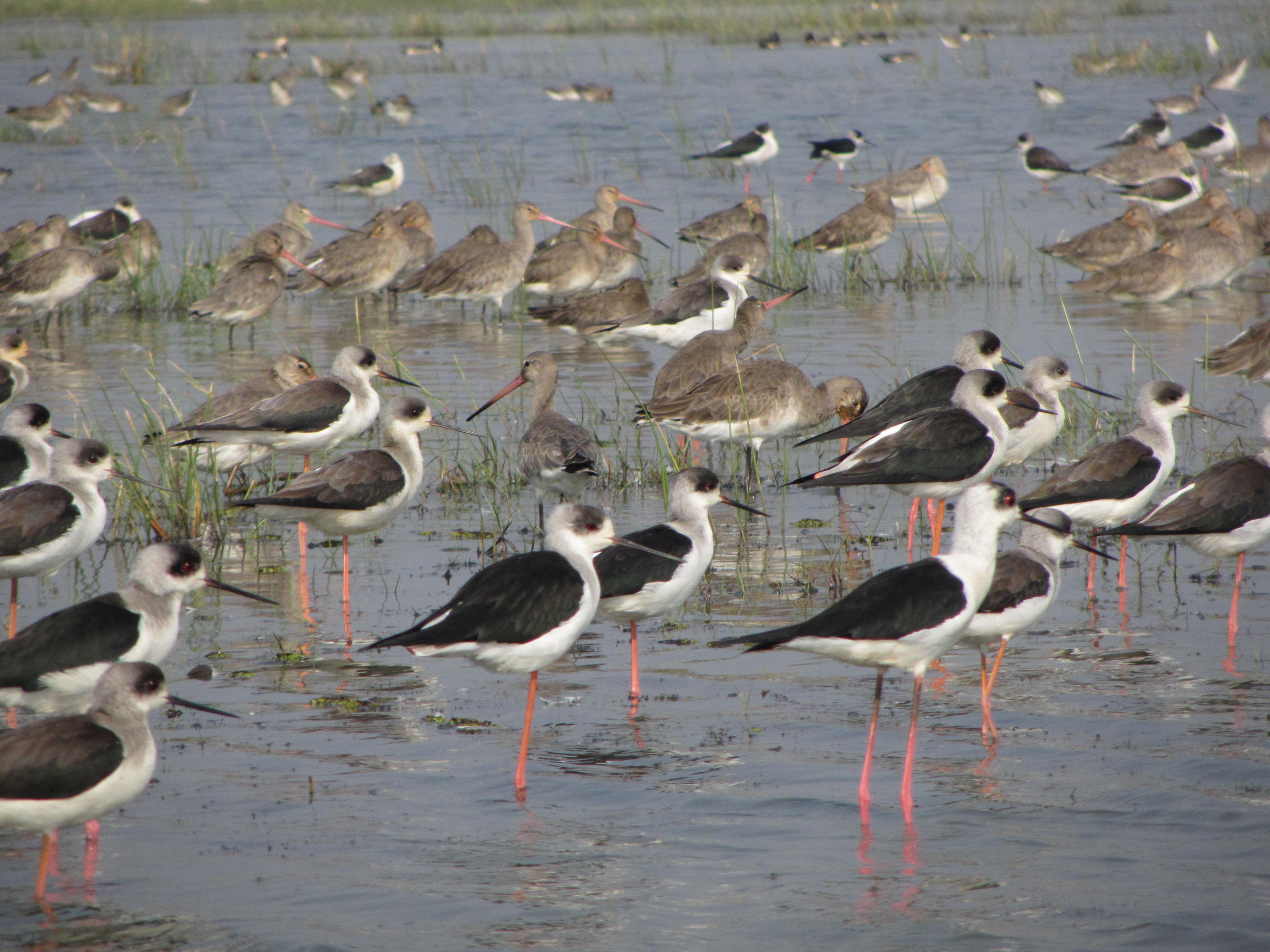 Black winged Stilt in the foreground and Godwits at the back